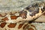 Thamnophis scalaris