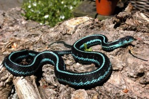One of my adult males T.s.pickeringii (blue morph)