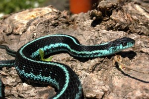 Adult male T.s.pickeringii (blue morph)