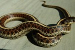Most of the juveniles of Thamnophis elegans terrestris (red morph) have started feeding well, born in the spring of 2015 (so appr. 3 months old).