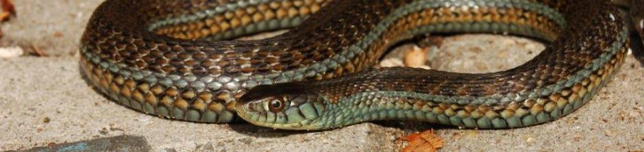 Thamnophis eques obscurus