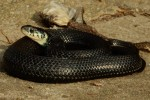 Thamnophis eques cuitzeoensis