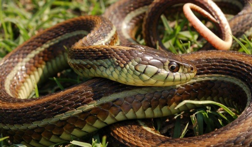 Thamnophis eques diluvialis