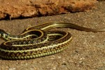 Thamnophis eques eques