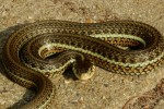 Thamnophis eques ssp.
