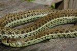 Thamnophis eques scotti