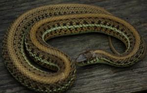 T.e.scotti pregnant captive bred female (70 cm TL) (Steven Bol)