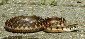 Adult male Thamnophis conanti