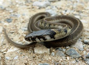 Newborn baby photographed in the wild Thamnophis conanti