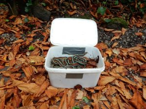 Thamnophis sirtalis infernalis adult during hibernation in a larger container.