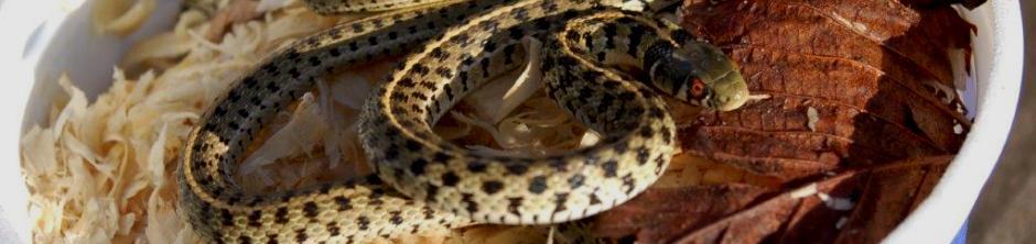 Hibernating Garter Snakes