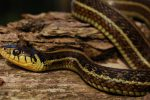 Thamnophis eques patzcuaroensis wc adult male