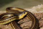 Thamnophis eques patzcuaroensis wc adult female