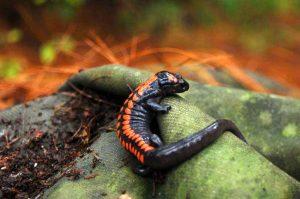 Bell's False Brook Salamander in Michoacán (valley 2)
