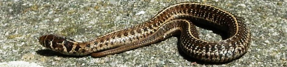 Steven Bol Garter Snakes
