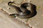 Thamnophis eques insperatus