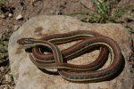 Thamnophis proximus rubrilineatus