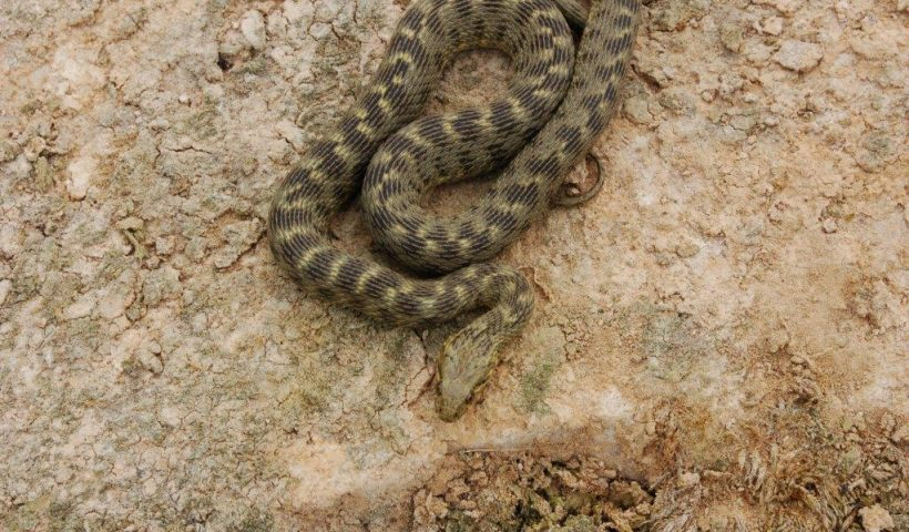 Natrix maura