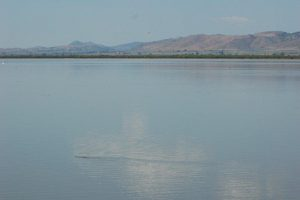 T.e.scotti swimming in the lake floating on the water, November 2007 (Steven Bol)