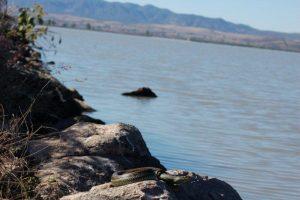 T.e.scotti basking on the boulders, November 2009 (Steven Bol)