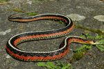 "Female,, ""flame"" morph of the Eastern Garter Snake (Thamnophis sirtalis sirtalis) from Quebec, Canada."