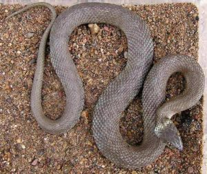 Fig. 5. Iberian grass snake (Natrix astreptophora), Cantabria, Spain. (Picture Paul Storm, 2004).