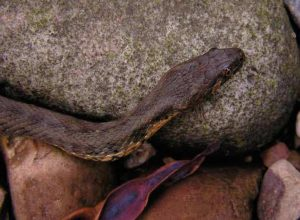 Fig. 6. Viperine snake (Natrix maura), Cantabria, Spain. (Picture Paul Storm, 2004).
