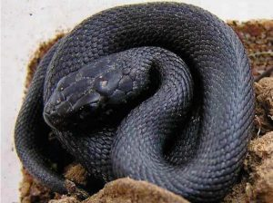 Fig. 7. Iberian grass snake (Natrix astreptophora) (melanistic) Cantabria, Spain. (Picture Paul Storm, 2004).