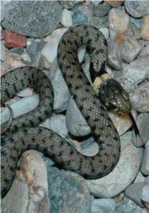 Fig. 9. Barred grass snake (Natrix helvetica), Gard, France. (Picture Paul Storm, 2011).