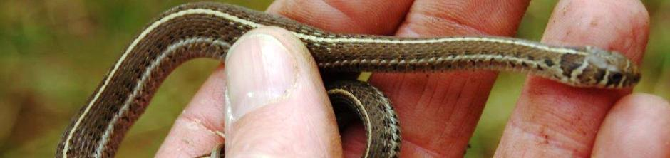 A rare and fascinating species of garter snake the Short-tail Alpine Garter Snake Thamnophis scaliger Jan, 1863