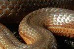 T.melanogaster canescens-header